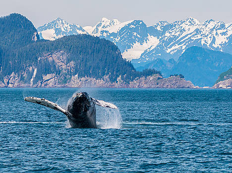 Breaching Humpback by Daryll Vispo