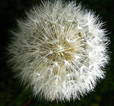 Breezy Dandelion by Al Smith