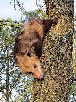 Brer Possum by David Sutter