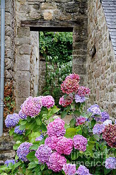 Bretagne Colorful Hydrangeas by Julia Willard