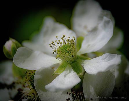 Briar Blossom by Henri Irizarri