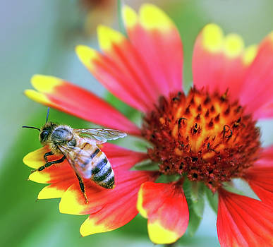 Bright-colored Close Up of Honey Bee on Red and Yellow Flower by Eneida Gastal-Keith