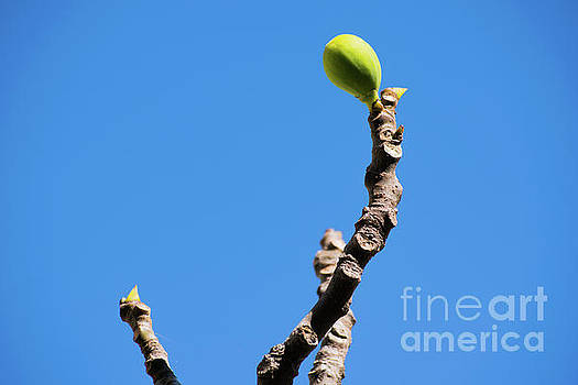 Bright fig against the sky. by Cesar Padilla