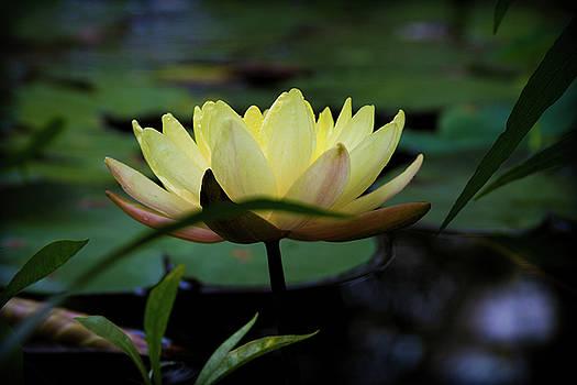 Bright Lemon Water Lily by Bonnie Follett