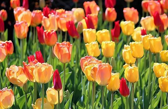 Rosanne Jordan - Bright Morning Tulips