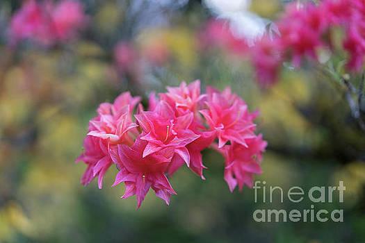 Mike Reid - Bright Pink Azaleas Cluster