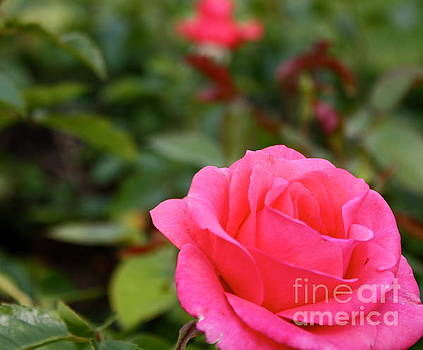 Bright Pink Rose by Danielle Groenen