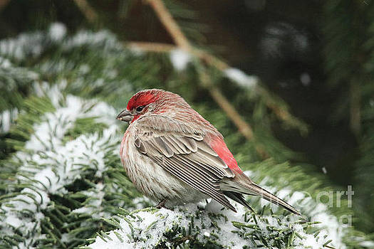 Bright Red House Finch by Alyce Taylor