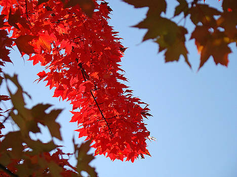 Baslee Troutman - BRIGHT RED SUNLIT AUTUMN LEAVES Fall Trees
