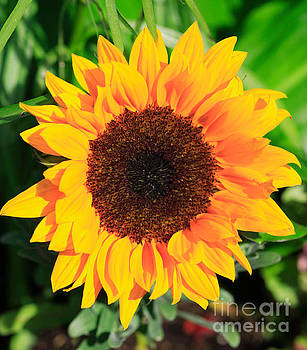 Bright sunflower by Deborah Benbrook