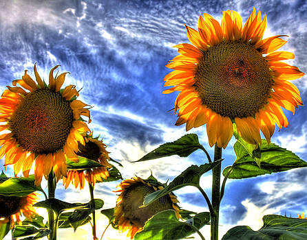 Bright Sunflower by Joe Paniccia