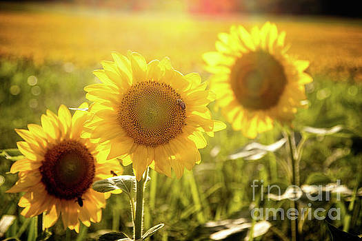 Bright Sunflower Trio by Eleanor Abramson
