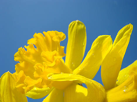 Baslee Troutman - Bright Yellow Daffodil Flowers Blue Sky Baslee Troutman