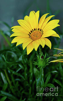 Bright Yellow Gazania by Kaye Menner by Kaye Menner