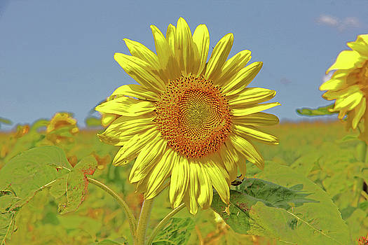 Bright Yellow Sunflower In A Field Blue Sky Artsy 2 8312017 by David Frederick