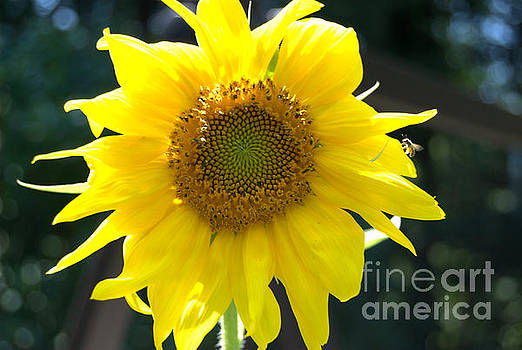Bright Yellow Sunflower with Bee by Eunice Miller