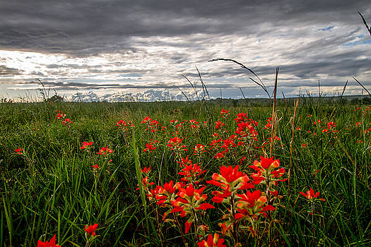 Brighten the Day - Indian Paintbrush on Stormy Day in Oklahoma by Sean Ramsey