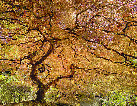 Brilliant Japanese Maple by Wanda Krack