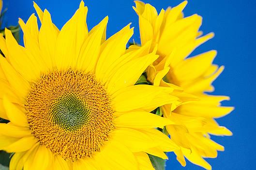 Margaret Pitcher - Brilliant Sunflowers