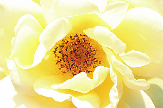 Brilliant Yellow Rose by Beth Fox