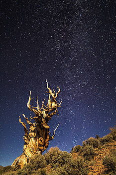 Bristelcone pine by Davorin Mance