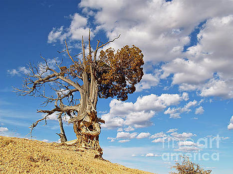 Bristlecone at Bryce Canyon by Alex Cassels