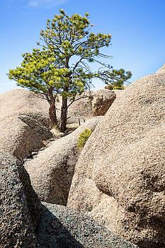 Bristlecone In Granite 2 by Tim Newton