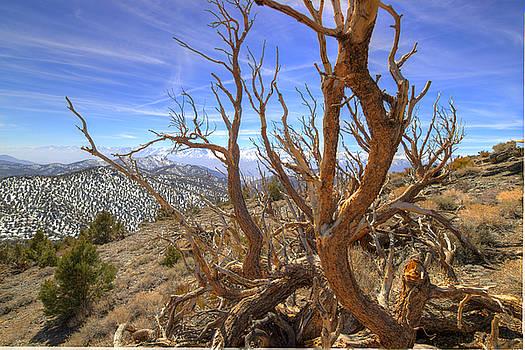 Scott Harris - Bristlecone Pine 2