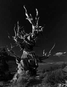 Bristlecone Pine by Art Shimamura