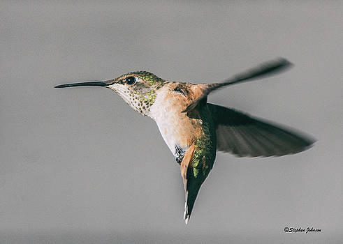 Broad-tailed Hummingbird Approaching Feeder by Stephen Johnson