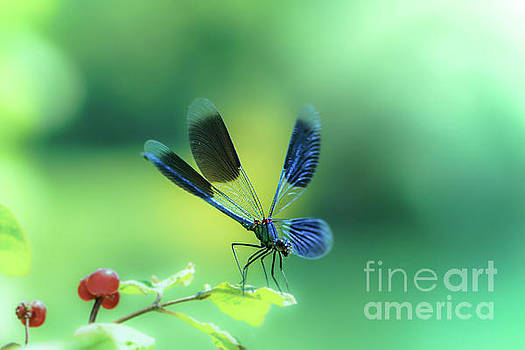 Broad-winged Damselfly, Dragonfly by Amanda Mohler