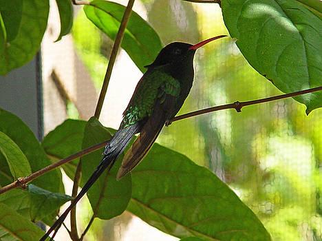 Broadbill Hummingbird by Reni Boisvert