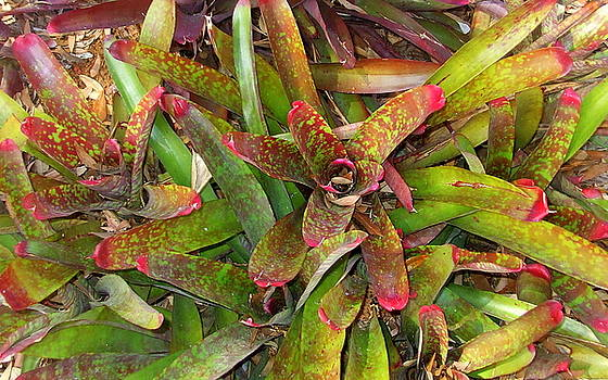Bromeliads by Keith Straley