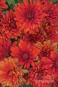 Regina Geoghan - Bronze Chrysanthemums