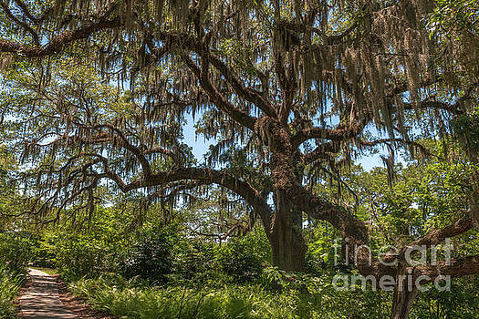 Dale Powell - Brookgreen Gardens Live Oak Tree