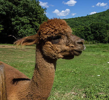 Brown Alpaca at Crescendo Acres Farm, Surry New Hampshire by Skyelyte Photography by Linda Rasch
