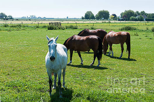 Compuinfoto   - brown and white horses in dutch landscape