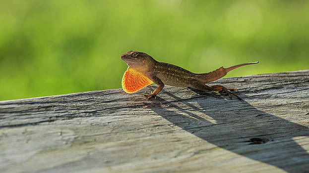 Brown Anole by Alida Thorpe
