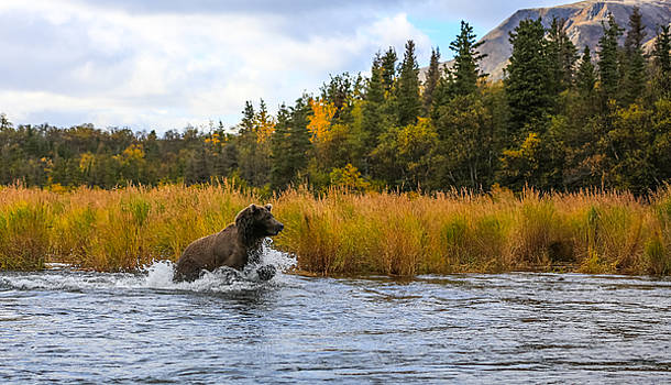 Brown Bear Chasing Fish by Sam Amato