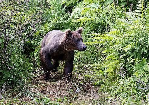 Gloria Anderson - Brown bear coming through the brush