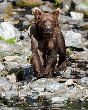 Gloria Anderson - Brown Bear on the rocks by the water