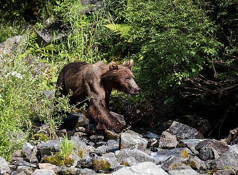 Gloria Anderson - Brown Bear on the rocks
