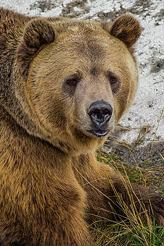 Brown Bear Portrait by Kimberly Blom-Roemer