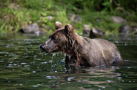 Gloria Anderson - Brown bear swimming