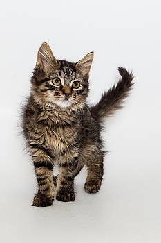 Tim Wilson - Brown-Black Longhair Kitten