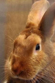 Brown Bunny and Whisker's closeup by Robert D  Brozek