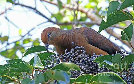 Brown Cuckoo-Dove by P W