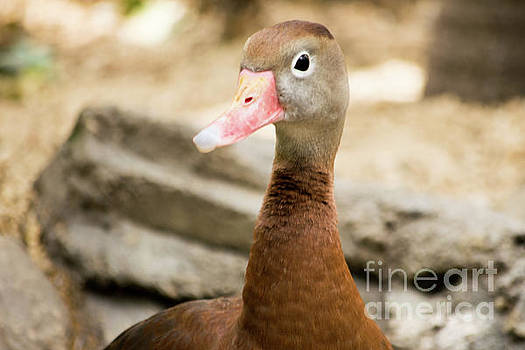 Brown duck portrait by Cesar Padilla