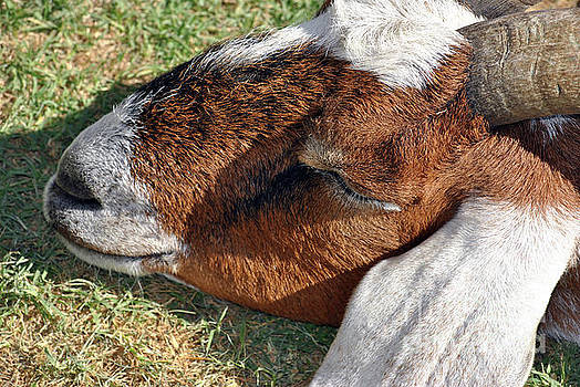 Brown Goat sleeping by Inspirational Photo Creations Audrey Woods