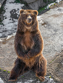 Brown  grizzly bear on a rock by Julian Popov